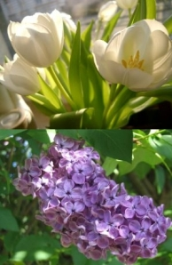 Tulip vs Lilac. Striking resemblance?