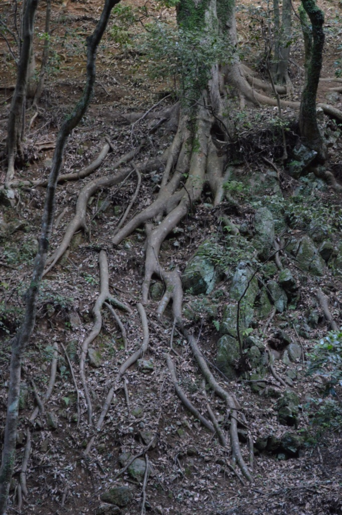 Cool tree on our way up the mountain. The roots were huge!