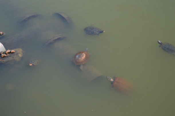 A large bowl of turtle soup! Just kidding, we found a pond full of turtles in the middle of the city.