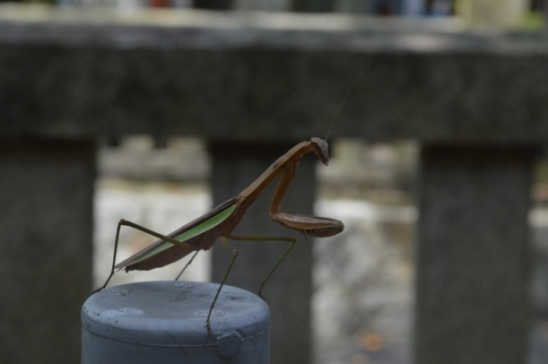 This is what we found right outside the toilet, a gigantic mantis! I've never seen one in real life so I was very excited