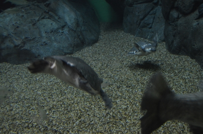 Turtle/Pig/Penguin