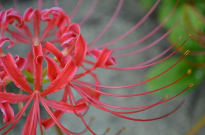 To finish off this post I'd like to show you one of the more beautiful flowers, the red spider lily